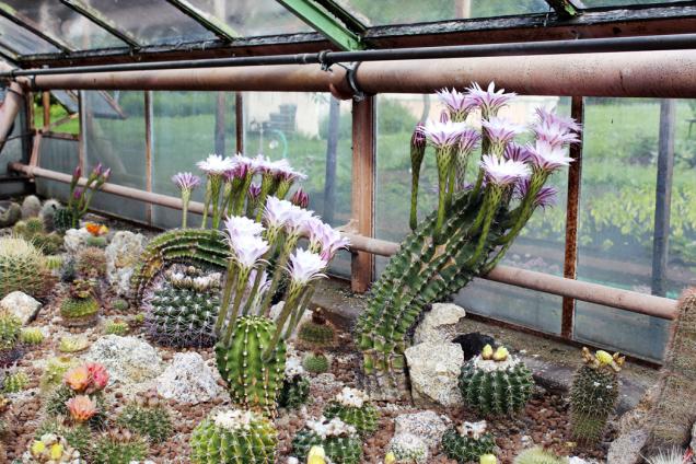 Skleník srozkvetlým lánem kaktusů je vkvětnu ačervnu skutečnou pastvou pro oči.