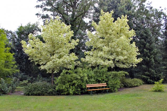 Lavička vjasmínu (českém) pod stinnými korunami nádherných kultivarů javoru