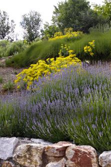Levandule patří knejkrásnějším trvalkám časného léta. Mohutné trsy stříbrošedé amodré provoní okolí domu apřilákají motýly ičmeláky.