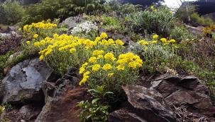 Tařice skalní (Aurinia saxatilis) potěší vždy nazačátku května. Její žluté trsy jsou zkrátka nepřehlédnutelné.