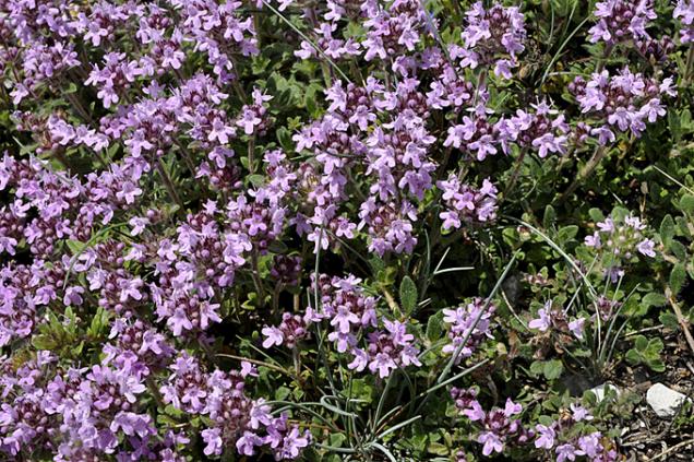 Klasickou rostlinkou suchých strání aslunných mezí je mateřídouška (Thymus). Jako půdopokryvná trvalka je skvělá.