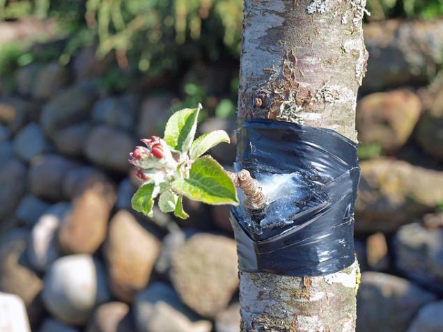 V létě lze mladé stromy naočkovat spícími očky. Ta vyraší příští rok. Očkují se jabloně, hrušně, broskvoně a slivoně, případně i okrasné dřeviny pro zahuštění koruny. Pro přeočkování použijte rouby z letošních vyzrálých letorostů.  Z letorostu rostliny, jejíž očko chcete přenést, seřízněte pupen. Do podnože, na kterou očkujete, udělejte zářez tak, abyste odříznuté očko mohli dostat pod kůru, k míze. Vložte očko, zavažte a nechte jej přirůst.