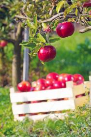 Máte-li na zahradě jabloně ahrušně, vyhrňte si rukávy apřipravte sklep. Začíná zahradní Tour de Pomme un Poire. Letní odrůdy jablek ahrušek zrají rychle avětšinou je třeba každý den posbírat opadané plody aihned je zpracovat. Dostatečně nazrálé kusy je vhodné zavčasu očesat, aby se pádem nenatloukly avydržely uskladněné několik týdnů. Pamatujte, že jednou zmožností zpracování úrody je imoštování. Jabloně také ošetřujte proti obaleči jablečnému, jehož housenky nejčastěji způsobují červivost jablek azároveň škodí ihruškám, meruňkám avlašským ořechům.