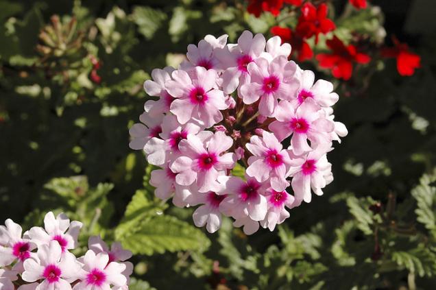 Převislé odrůdy sporýše (Verbena) jsou velmi světlomilné, nazimu potřebují co nejvíce slunce.