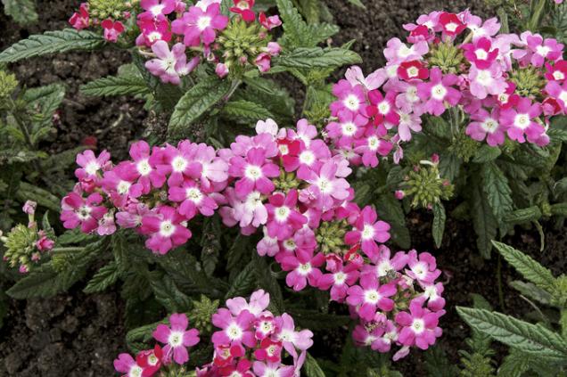 Truhlíkové odrůdy sporýše (Verbena) lze zimovat, ale záhonové kultivary nebo jednoleté botanické druhy množíme výsevem.
