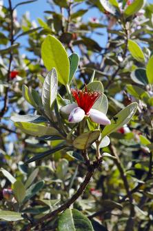 Keře rodu Acca se pěstují stejně jako oleandr, ale místo nebezpečného jedu přinášejí velmi zajímavé květy achutné jedlé plody.