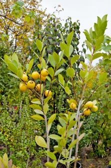 Keříky Psidium cattleianum mohou přinášet chutné plody již při metrové velikosti.