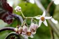 Chutných plodů se ivdomácích podmínkách dočkáte například odrajčenky (Cyphomandra betacea). Je to malý stromek, který vhorách mezi Peru aArgentinou dorůstá až pětimetrové výšky, ale při pěstování vbytě ho řezem snadno udržíte vúnosné velikosti.