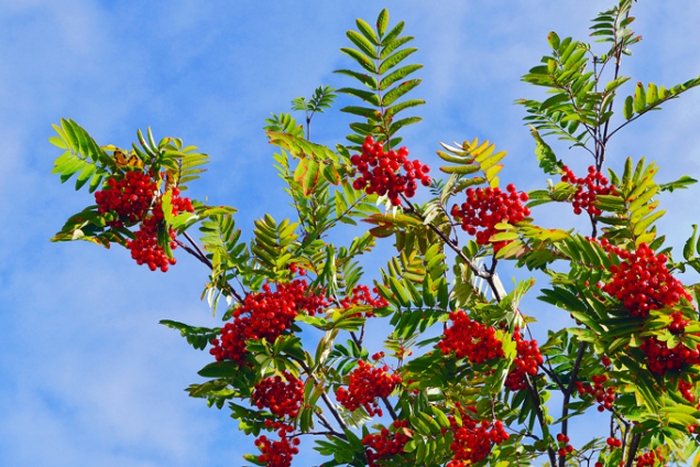 Jeřáb moravský sladkoplodý (Sorbus aucuparia subsp. Moravica)