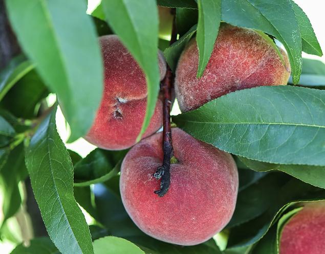 Odrůda Red Heaven dala vzniknout množství dalších odrůd. Jistě si mezi nimi vyberete...