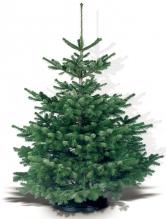 Vánoční stromek – jedle NORDMANNgold (Zdroj: Hornbach)