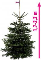 Vánoční stromek NORDMANNgold (Zdroj: Hornbach)