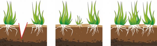 Jak funguje vertikutace: Obr. 1: Nože vertikutátoru naříznou travní drny.  Obr. 2: Drn snadno odnožuje, trávník houstne.  Obr. 3: Za několik týdnů se trávní plocha zacelí novým porostem. (Foto: Mountfield)