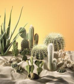 Kaktusy (ilustrační foto: Hornbach)