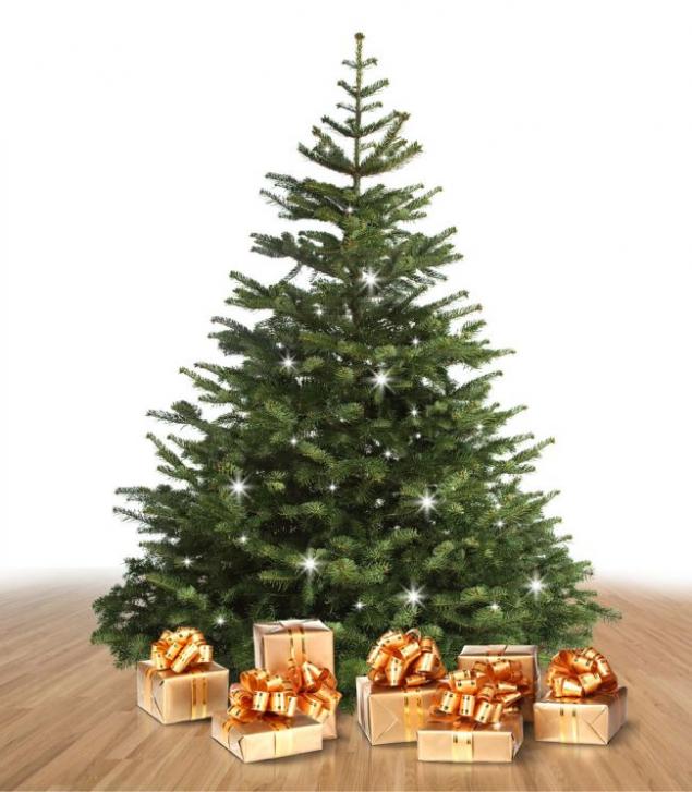 Kavkazská jedle – královna mezi vánočními stromy (zdroj: Mountfield)
