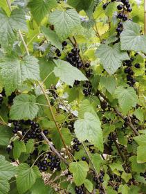 Černý rybíz je považován za vitaminovou bombu. V posledních letech je ceněný i pro léčivé listy a pupeny, které se využívají v gemmoterapii (léčba pomocí rostlinných tinktur)