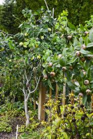Kdouloň s mišpulí kdysi nechyběly v žádné ovocné zahradě, pak se na ně pozapomnělo. Dnes jsou oblíbené pro své specifické vlastnosti a pozdní podzimní sklizeň