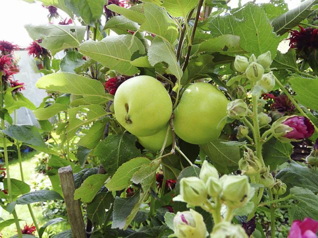 Staré odrůdy ovocných dřevin jsou opět oblíbené pro široké možnosti využití. Navíc jsou odolnější vůči současným chorobám a škůdcům než teprve nedávno vyšlechtěné odrůdy