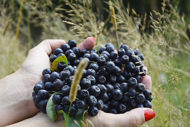 Temnoplodec je výborný antioxidant a konzumovat se dá v čerstvém i sušeném stavu. Běžná je ale také tepelná úprava s doslazením