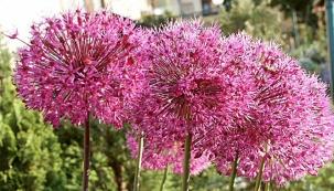 Zahrada v oblých křivkách (Česnek (Allium giganteum))